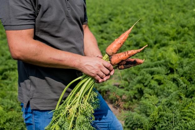 Coltivazione di carote biologiche. carote nelle mani di un contadino. carote appena raccolte. vendemmia autunnale. agricoltura.
