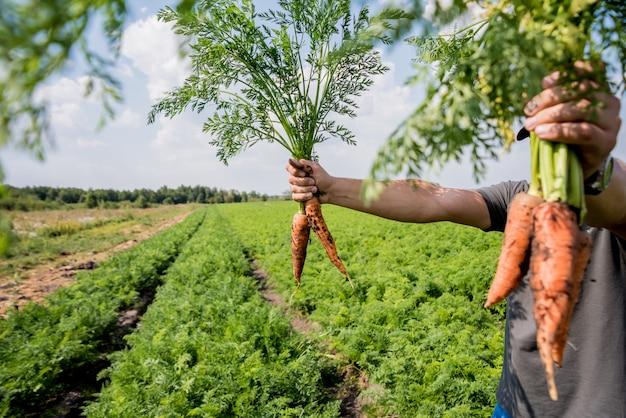 Coltivazione di carote biologiche. carote nelle mani di un contadino.