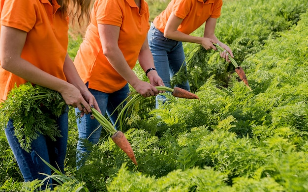 Coltivazione di carote biologiche. carote nelle mani di un gruppo di agricoltori. carote appena raccolte. vendemmia autunnale. agricoltura.