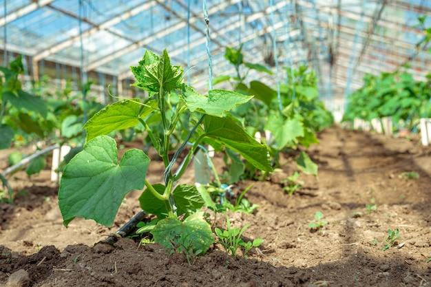 Coltivazione di piante di cetrioli organici senza prodotti chimici e pesticidi in una serra in fattoria, verdure sane con vitamine