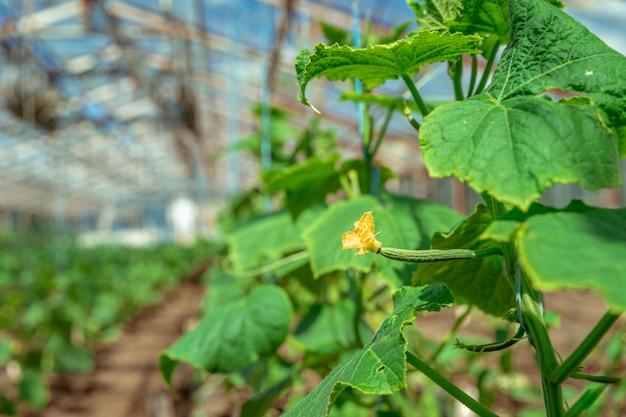Coltivazione di cetrioli biologici senza prodotti chimici e pesticidi in una serra della fattoria, verdure sane con vitamine
