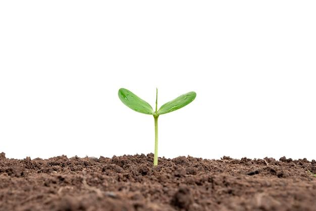 Una pianta o un albero in crescita che cresce dal terreno su uno sfondo bianco