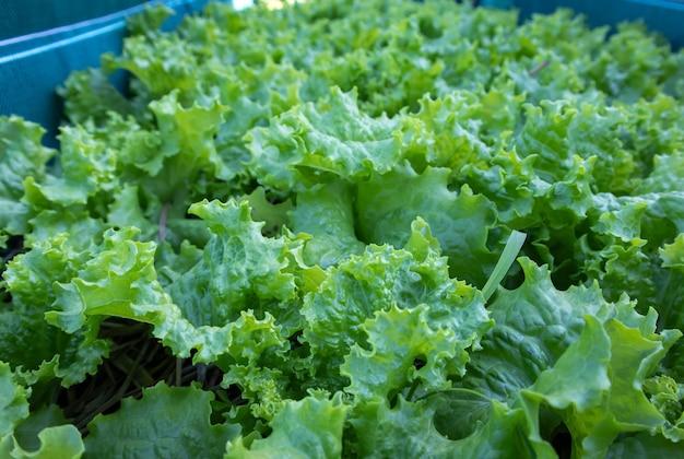 Insalata in crescita a casa. primo piano di insalata verde in crescita in un vaso di fiori.