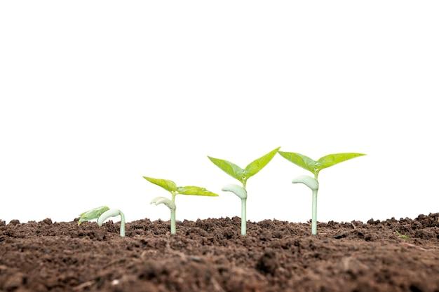 La sequenza crescente di una pianta o di un albero che cresce dal suolo su uno sfondo bianco