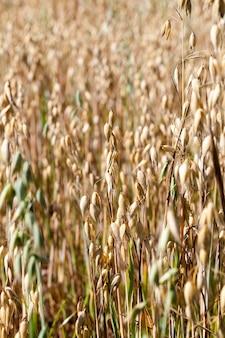 Crescere insieme spighette verdi mature gialle e acerbe di avena su un campo agricolo