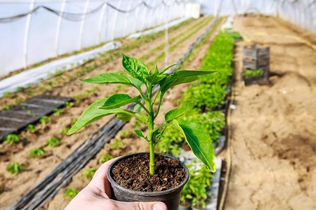 Coltivazione di ortaggi. piantare piantine di peperone dolce nel terreno. ecologia. coltivazione biologica. agricoltura.