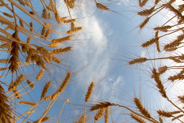 Coltivazione di grano contro il cielo nuvoloso