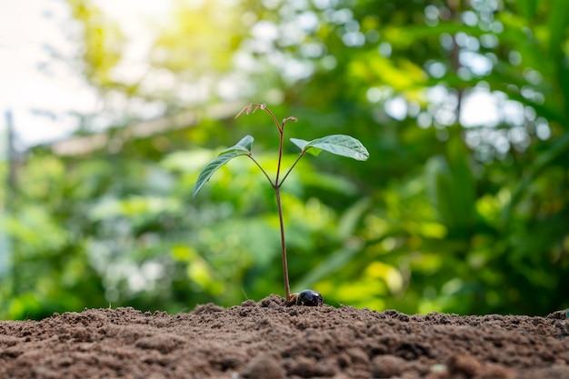 Crescita e sviluppo di piante cresciute da semi nel terreno. concetto di conservazione ambientale.