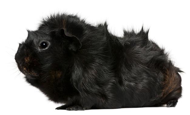 Guinea pig (3 anni)