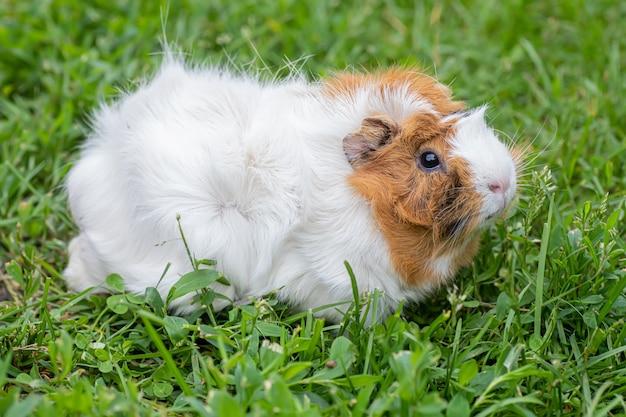La cavia (cavia porcellus) si nutrono di erba verde