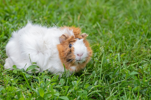 Cavia (cavia porcellus) seduti all'aperto in estate.