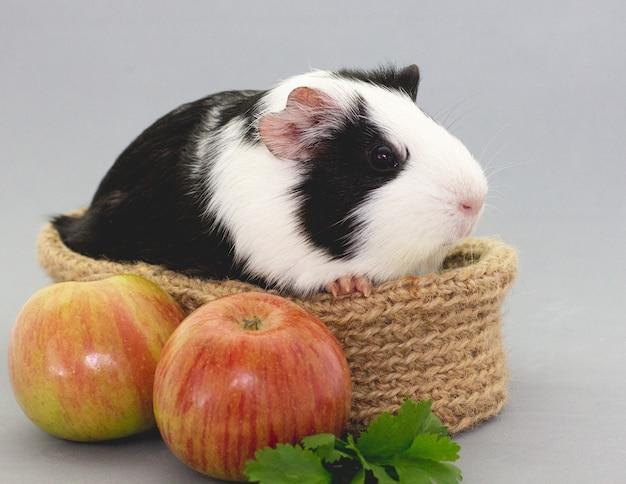 Cavia che mangia verdure fresche