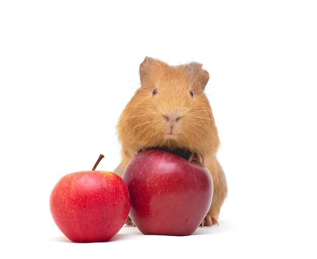 Cavia e mela rossa su fondo bianco