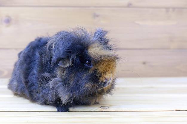 I capelli di un porcellino d'india stanno soffiando nel vento.