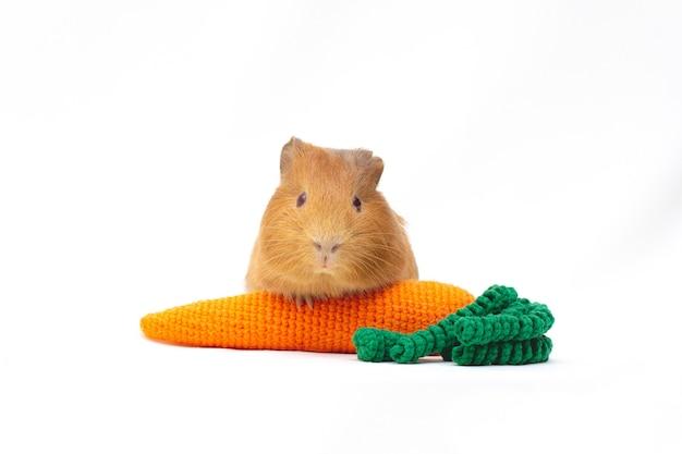 Cavia con una carota giocattolo lavorata a maglia