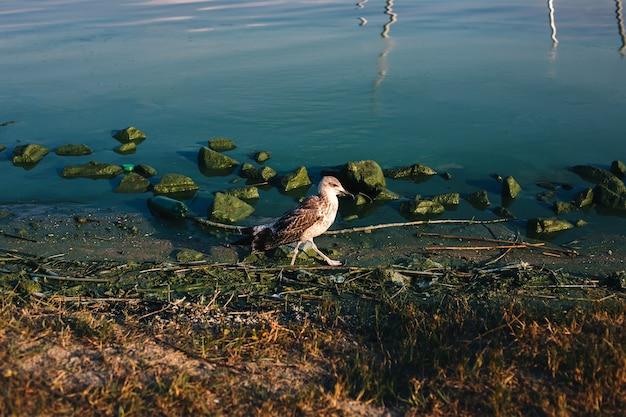 Uccello gabbiano passo da piedi palmati sul lato del fiume con pietre e fioriture di alghe