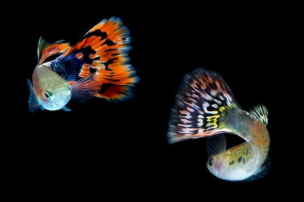 Pesce guppy isolato su sfondo nero.