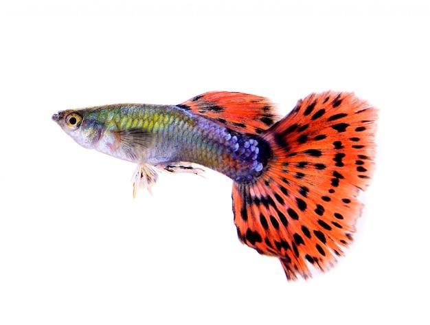 Pesce guppy isolato su spazio bianco