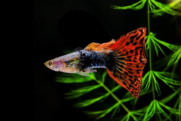 Guppy multi pesci colorati su uno sfondo nero con alghe verdi.