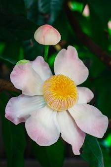 Gustavia gracillima, gustavia bianca, fiore di loto bianco.