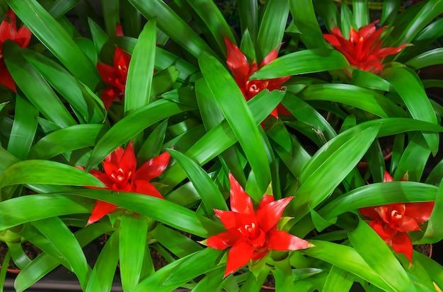 Guzman con fiori rossi e foglie verdi. avvicinamento