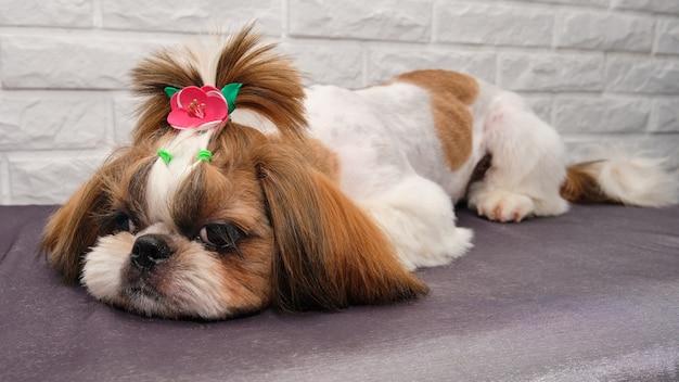 Taglio di capelli maltese nel salone di toelettatura. cane sdraiato su un tavolo per la toelettatura