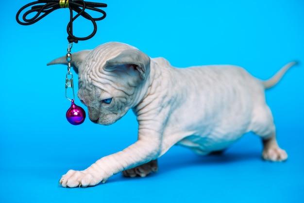 Gattino glabro di razza di gatto sphynx canadese in piedi su sfondo blu animale che gioca con il giocattolo