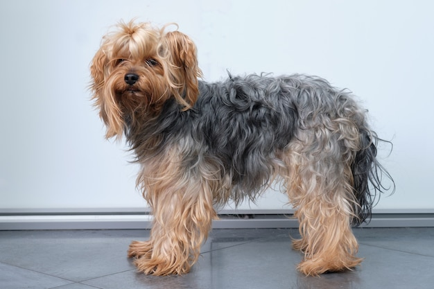 Un peloso yorkshire terrier si erge su una parete leggera prima della toelettatura.