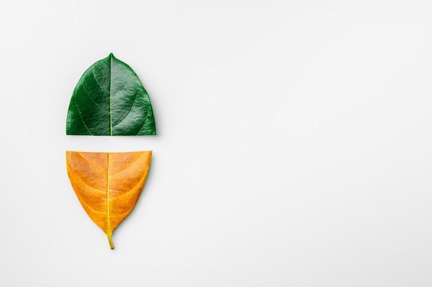 Metà delle foglie asciutte verdi e marroni su fondo bianco. - concetto di stagione.