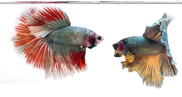 Pesce betta mezzaluna, pesce combattente siamese, betta splendens