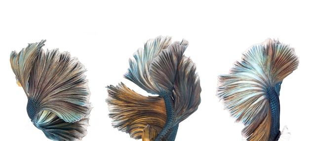 Pesce betta mezzaluna, pesce combattente siamese, cattura il movimento del pesce, sfondo astratto della coda di pesce