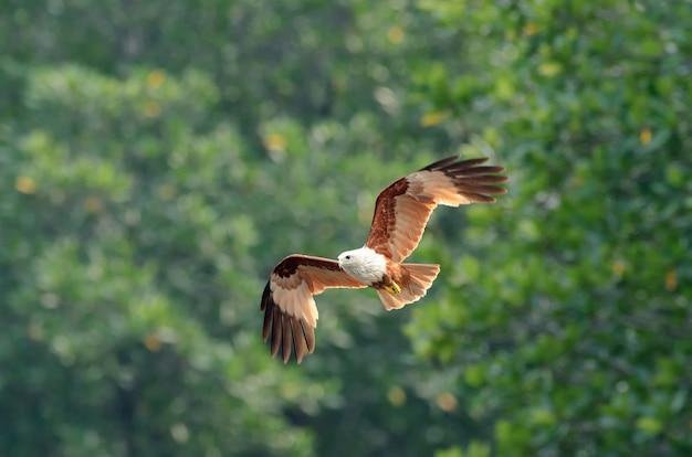 Haliastur indus che vola e che prende acqua in natura della tailandia