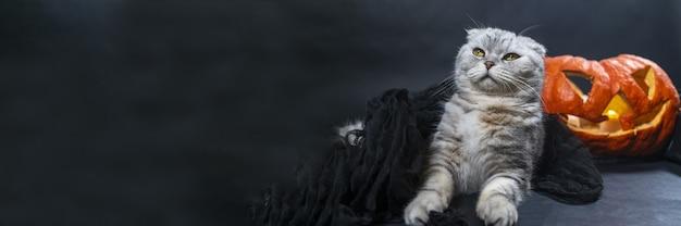 Banner di halloween di razza scozzese gatto piegato in velo nero si siede sullo sfondo di jack o lantern