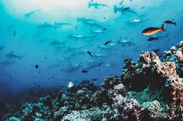 Squalo martello (sphyrnidae) nuotare in subacquei tropicali. squalo martello nel mondo sottomarino. osservazione dell'oceano della fauna selvatica. avventura subacquea nella costa ecuadoriana delle galapagos