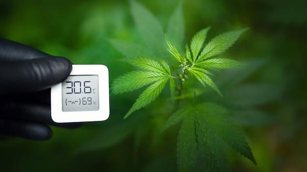 La mano nel guanto nero contiene un dispositivo elettronico per misurare l'umidità e la temperatura nella piantagione di cannabis. igrometro-termometro utilizzato per monitorare la crescita e lo sviluppo della marijuana medicinale