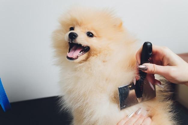 Mano che fa toelettatura, taglio di capelli, pettinatura della lana del bellissimo cane spitz di pomerania felice. cucciolo birichino, cura dei peli di animali, procedura di taglio. vet parrucchiere, salone di toelettatura.