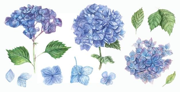Insieme disegnato a mano di fiori di ortensie blu e foglie verdi