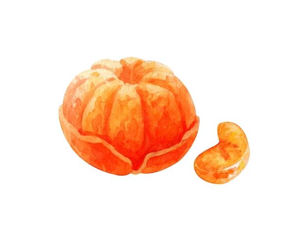 Mandarino dell'acquerello disegnato a mano su fondo bianco