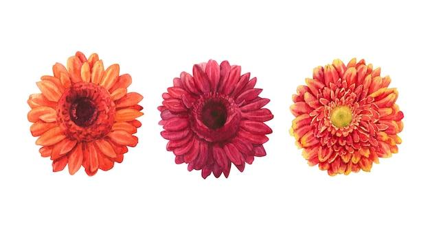 Set acquerello disegnato a mano di fiori di gerbera colorati su sfondo bianco