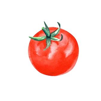 Pittura disegnata a mano del pomodoro dell'acquerello su fondo bianco.