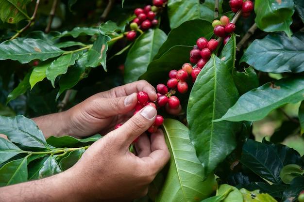 Coltivatore di mano raccogliendo chicco di caffè nel processo di caffè