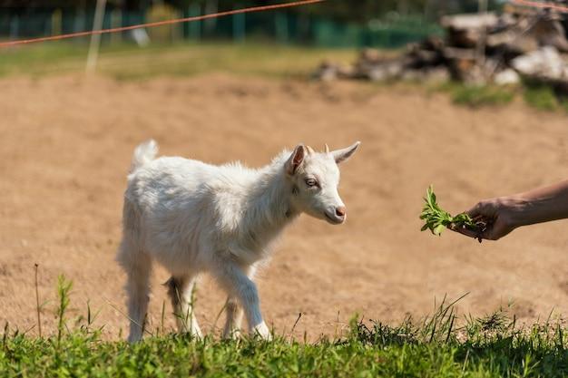 Dare da mangiare a mano una piccola capra carina che gioca nella natura in estate