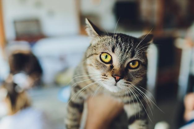 Mano di una femmina che tiene gattino bengala guardando la fotocamera.