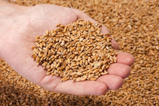 Mano piena di semi di grano maturo