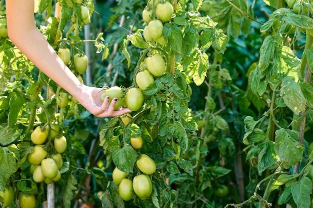 Mano di una ragazza che raccoglie pomodori della pianta, nessun volto mostrato, concetto di agricoltura