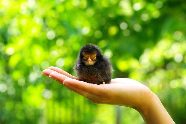 Tenere in mano la cura di un piccolo pollo