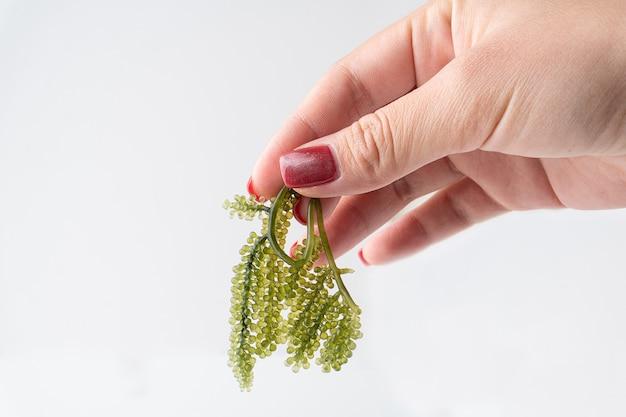 Mano tenere uva di mare o caviale verde isolato su uno sfondo bianco, è una pianta acquatica commestibile