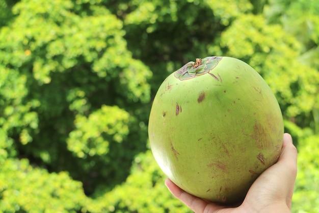 Mano che tiene una noce di cocco fresca e giovane con fogliame verde sfocato sullo sfondo