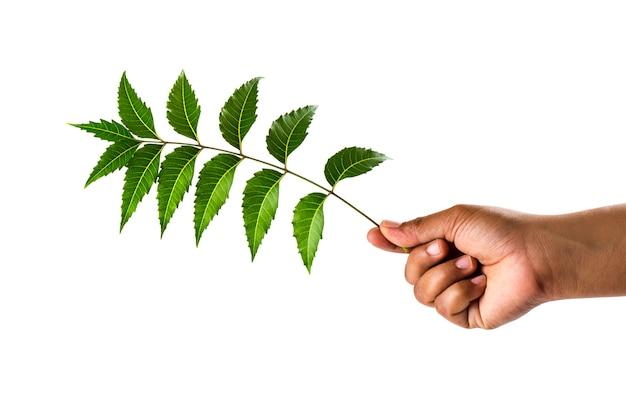 Mano che tiene le foglie di neem - azadirachta indica