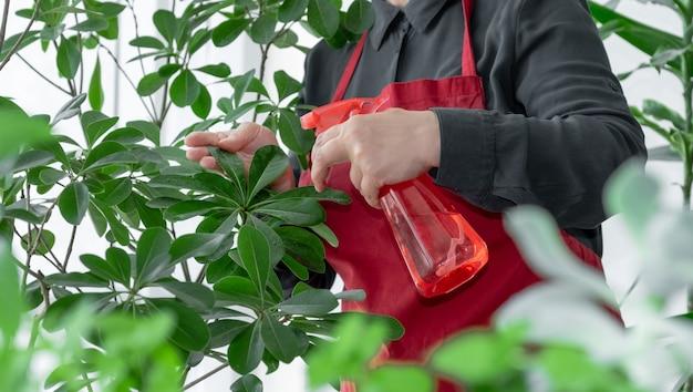 Mano che tiene lo spruzzatore o l'erogatore con acqua vicino alla pianta d'appartamento, prenditi cura del concetto di piante.